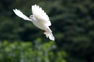 Innocent as a dove